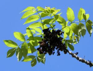 Goetterbaum Blatt gruen Ailanthus altissima 14