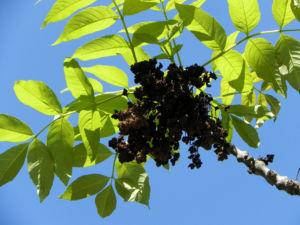 Goetterbaum Blatt gruen Ailanthus altissima 15