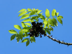 Goetterbaum Blatt gruen Ailanthus altissima 16