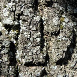 Goetterbaum Rinde grau Ailanthus altissima 05