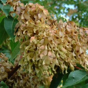 Goetterbaum Samen Ailanthus altissima 02