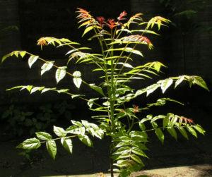 Goetterbaum Schoessling Ailanthus altissima 02