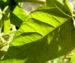 Zurück zum kompletten Bilderset Götterbaum Schössling Blatt Ailanthus altissima