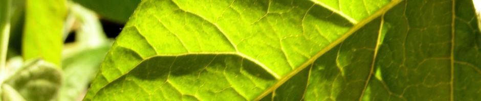 Anklicken um das ganze Bild zu sehen Götterbaum Schössling Blatt Ailanthus altissima