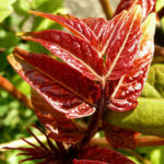 Goetterbaum Schoessling Ailanthus altissima 07