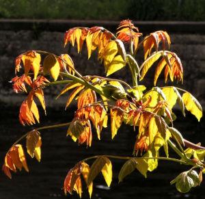 Goetterbaum Schoessling Ailanthus altissima 08