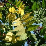 Bild: Götterbaum Ailanthus altissima