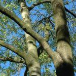 Goetterbaum Ailanthus altissima 02