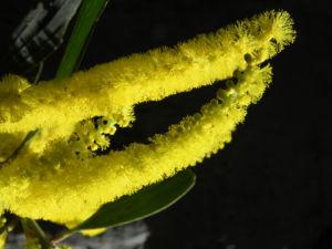 Gold Akazie Bluete gelb Acacia longifolia 06
