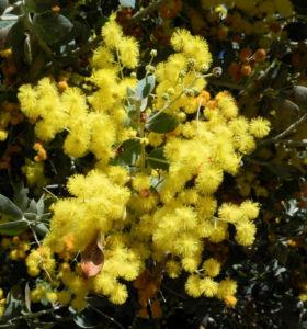 Gold Akazie Golden Wattle Bluete gelb Acacia pycnantha 01