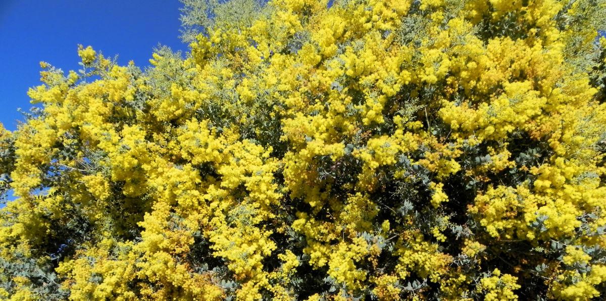 Gold Akazie Golden Wattle Bluete gelb Acacia pycnantha