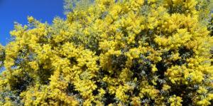 Gold Akazie Golden Wattle Bluete gelb Acacia pycnantha 06