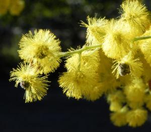 Gold Akazie Golden Wattle Bluete gelb Acacia pycnantha 07