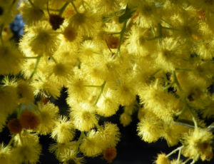 Gold Akazie Golden Wattle Bluete gelb Acacia pycnantha 08