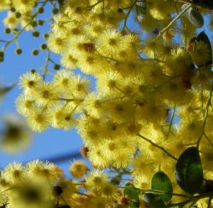 Gold Akazie Golden Wattle Bluete gelb Acacia pycnantha 09