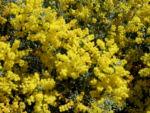 Bild: Gold-Akazie Golden-Wattle Blüte gelb Acacia pycnantha