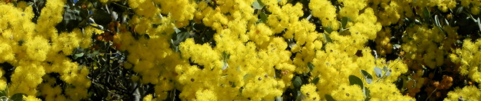 gold-akazie-golden-wattle-bluete-gelb-acacia-pycnantha