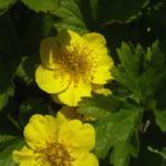 Gold Erdbeere Waldsteinia geoides 01