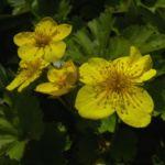 Gold Erdbeere Waldsteinia geoides 02