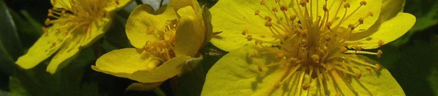 Anklicken um das ganze Bild zu sehen Gelapptblättrige-Waldsteinie Blüte gelb Waldsteinia geoides