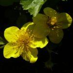 Gold Erdbeere Waldsteinia geoides 03