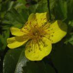 Gold Erdbeere Waldsteinia geoides 04