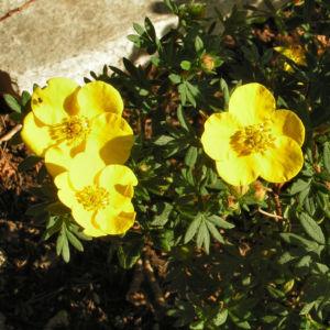 Gold Fingerkraut Bluete gelb Potentilla aurea 01
