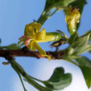 Gold Johannisbeere Strauch Bluete gelb Ribes odoratum 01