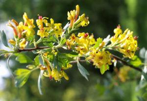 Gold Johannisbeere Strauch Bluete gelb Ribes odoratum 03