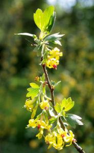 Gold Johannisbeere Strauch Bluete gelb Ribes odoratum 04