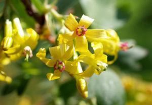 Gold Johannisbeere Strauch Bluete gelb Ribes odoratum 05