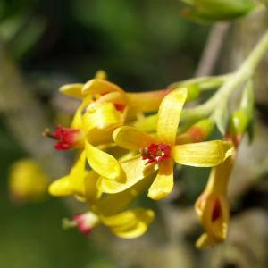 Gold Johannisbeere Strauch Bluete gelb Ribes odoratum 06