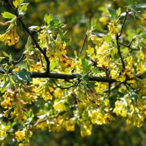 Gold Johannisbeere Strauch Bluete gelb Ribes odoratum 07