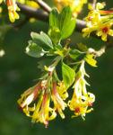 Gold Johannisbeere Strauch Bluete gelb Ribes odoratum 08