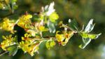 Gold Johannisbeere Strauch Bluete gelb Ribes odoratum 09