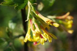 Gold Johannisbeere Strauch Bluete gelb Ribes odoratum 10
