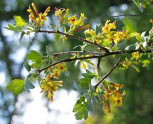 Gold Johannisbeere Strauch Bluete gelb Ribes odoratum 11