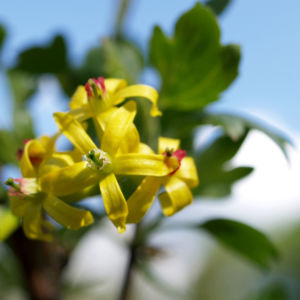 Bild: Gold Johannisbeere Strauch Bluete gelb Ribes odoratum