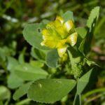 Gold Klee Trifolium aureum 01