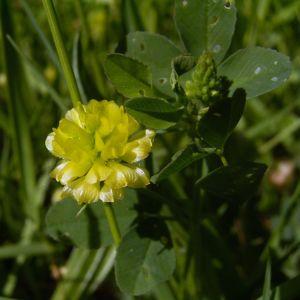 Gold Klee Trifolium aureum 02