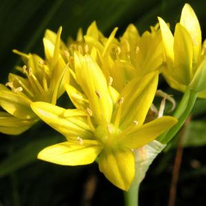 Gold Lauch Bluete gelb Allium molly 07
