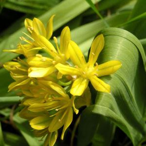 Gold Lauch Bluete gelb Allium molly 12