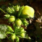 Bild: Gewöhnliche Goldnessel Blüte gelb Lamium galeobdolon