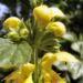 Zurück zum kompletten Bilderset Gewöhnliche Goldnessel Blüte gelb Lamiastrum galeobdolon