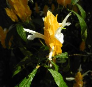Goldaehre Bluete gelb Pachystachys lutea 01