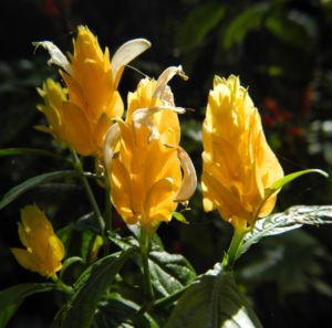 Goldaehre Bluete gelb Pachystachys lutea 07