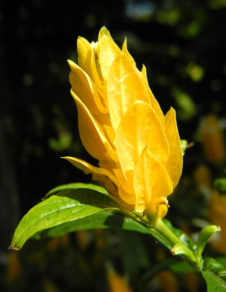 Goldaehre Bluete gelb Pachystachys lutea