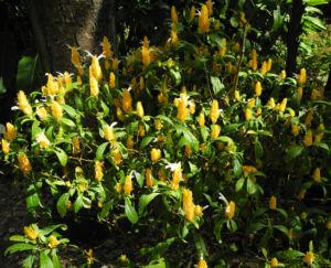 Goldaehre Bluete gelb Pachystachys lutea 10