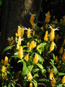 Goldaehre Bluete gelb Pachystachys lutea 11
