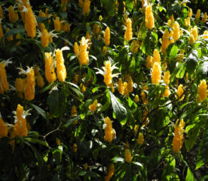 Goldähre Blüte gelb Pachystachys lutea